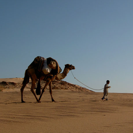Bedouin, Camel and the Sinai